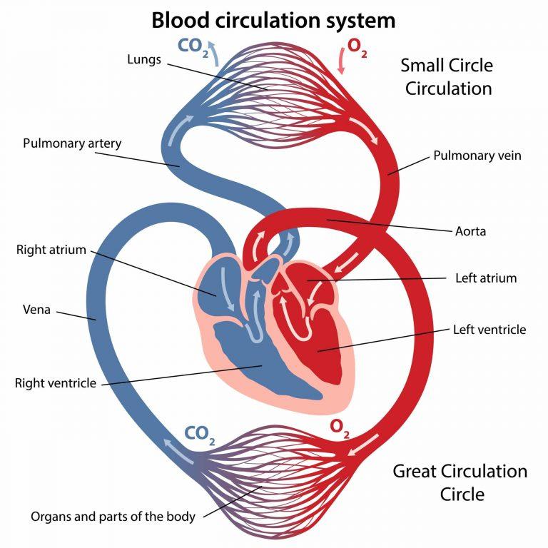 varicocele-natural-treatment-blood-circulation